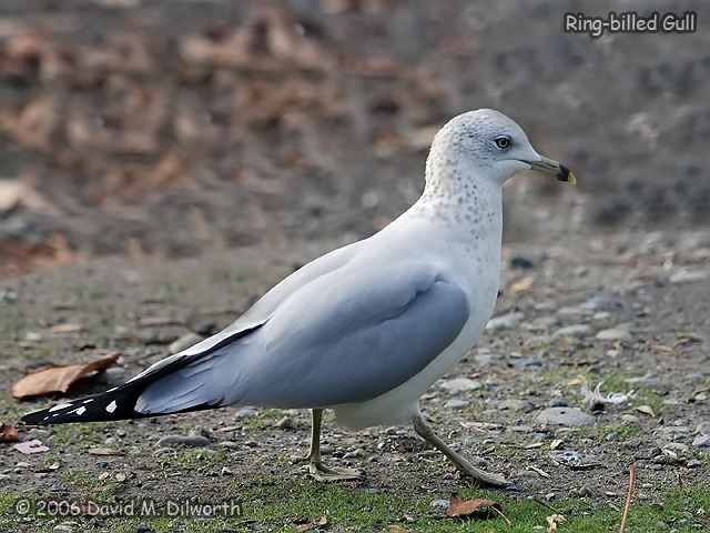 159 Ring-billed Gull