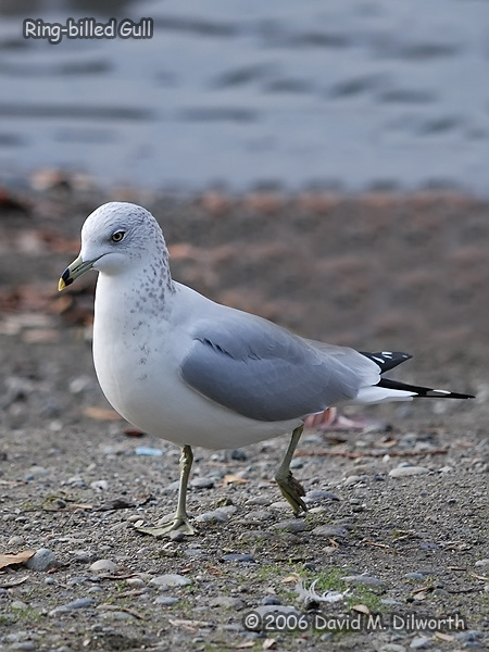 v159m Ring-billed Gull