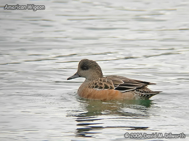 167m American Wigeon