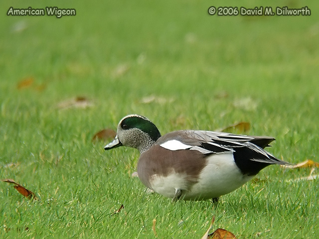 169m American Wigeon