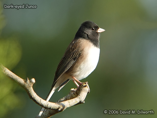 173 Dark-eyed Junco