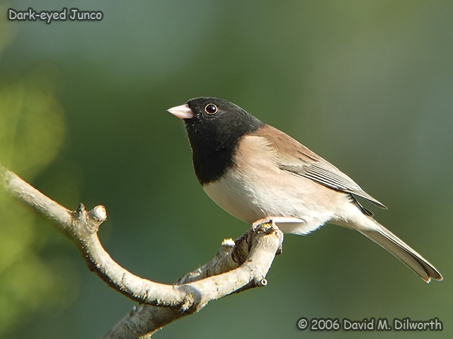 173m Dark-eyed Junco