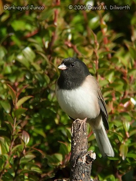 v174 Dark-eyed Junco