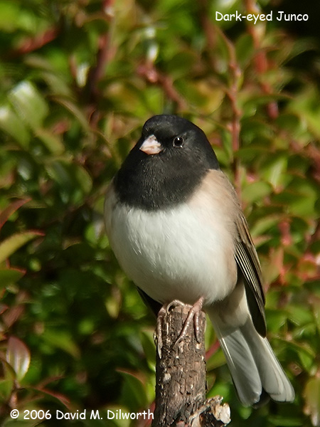 v174m Dark-eyed Junco
