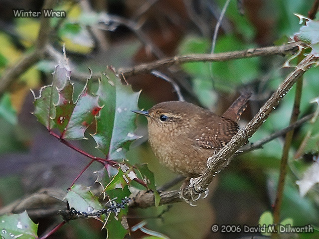 177 Winter Wren