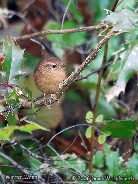 v177m Winter Wren