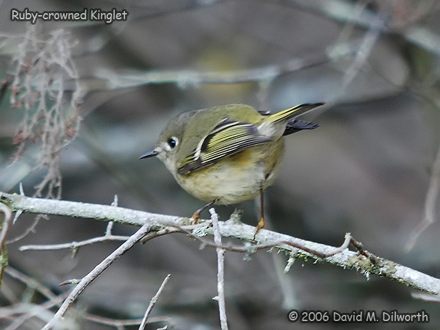 180 Ruby-crowned Kinglet