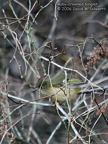 v180m Ruby-crowned Kinglet