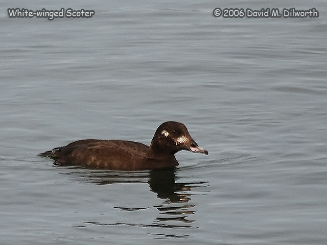 182 White-winged Scoter