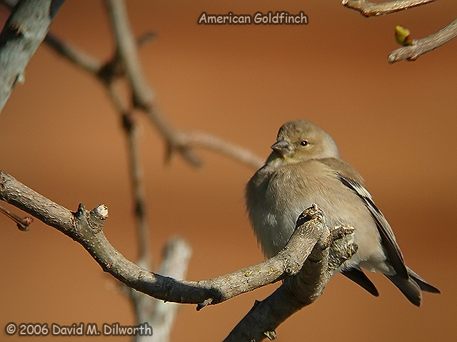 186 American Goldfinch