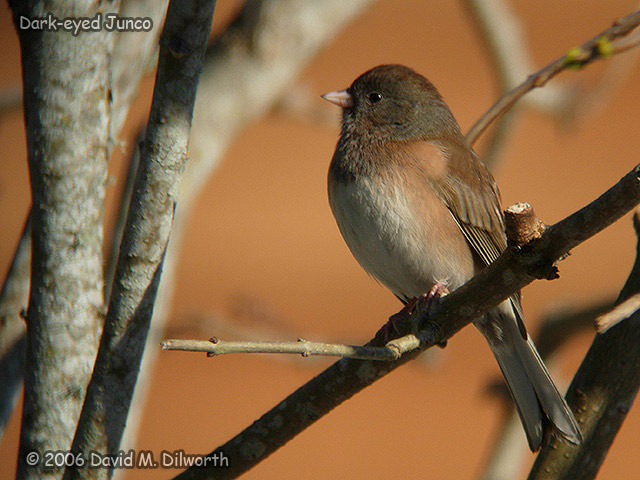 187 Dark-eyed Junco