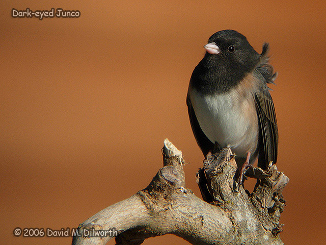 188 Dark-eyed Junco