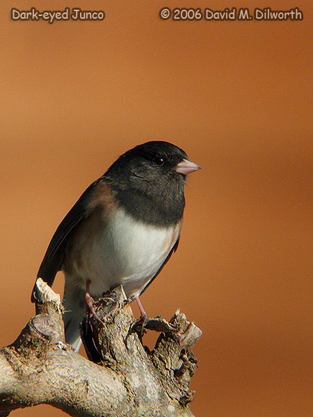 v188m Dark-eyed Junco