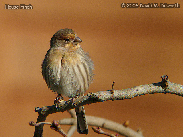191m House Finch