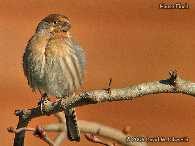 192 House Finch