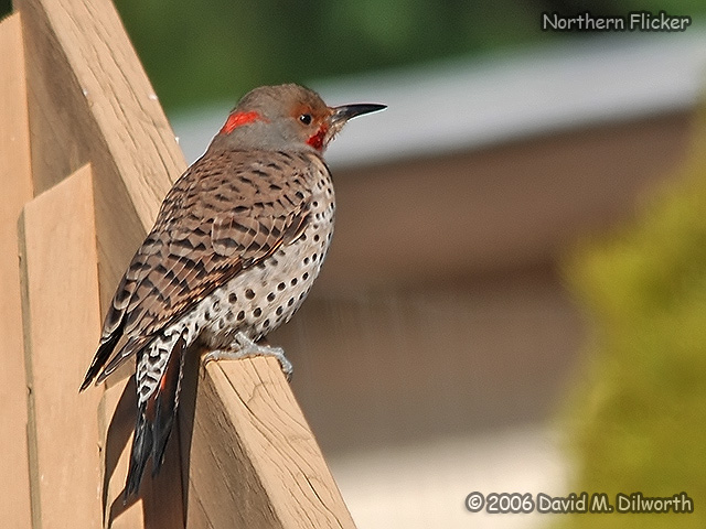 194 Northern Flicker
