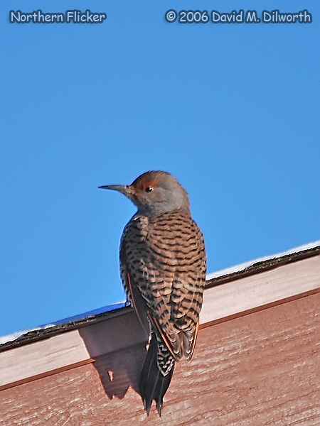 v194m Northern Flicker