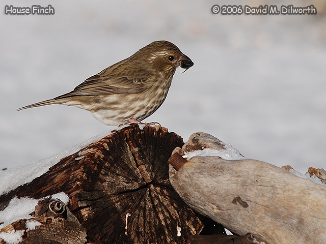 195 House Finch