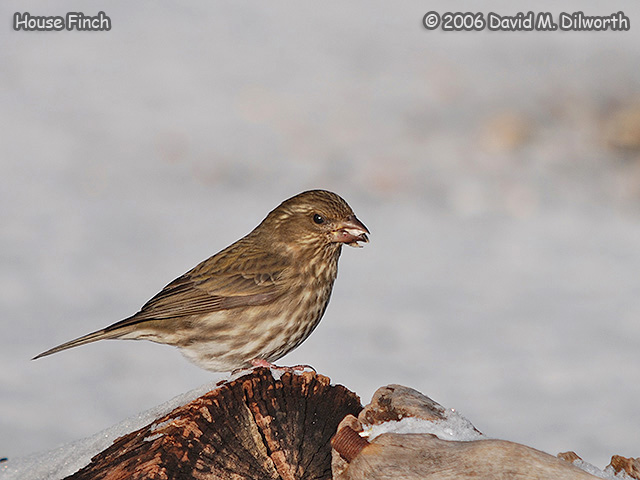 195m House Finch