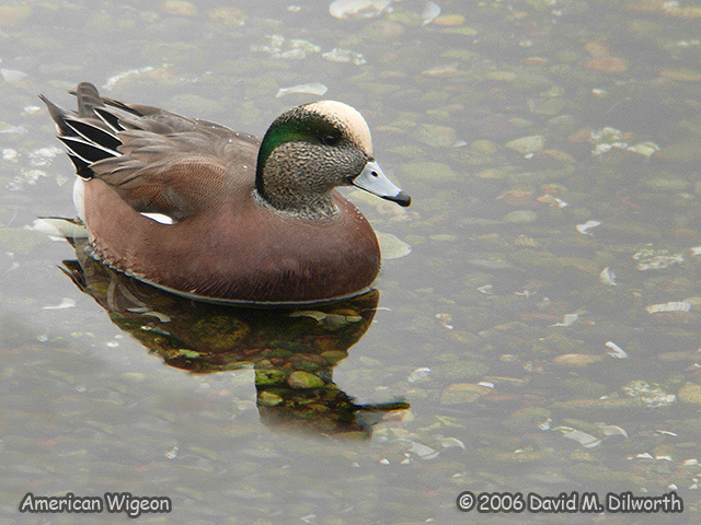 201m American Wigeon