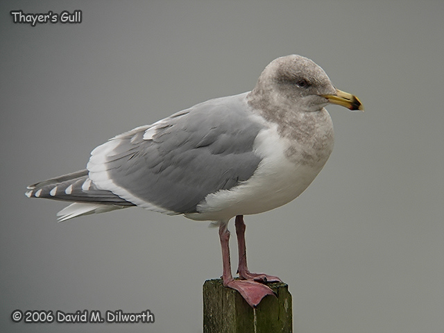 204 Thayer's Gull