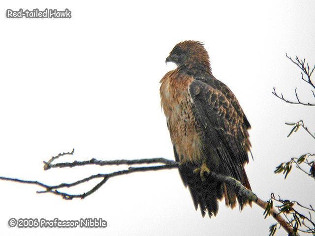 210 Red-tailed Hawk