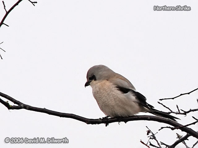 212 Northern Shrike