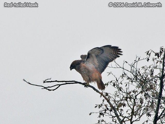 216 Red-tailed Hawk