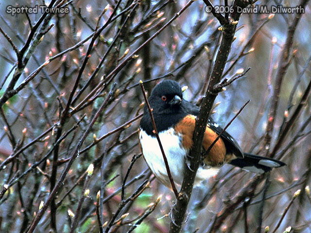 217 Spotted Towhee