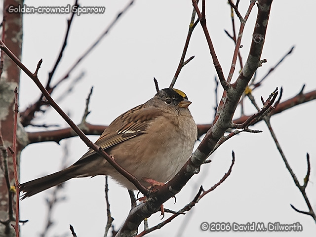 220 Golden-crowned Sparrow