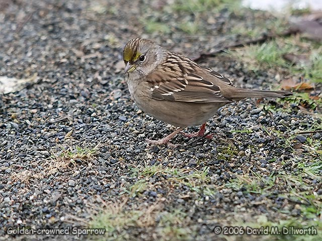 220m Golden-crowned Sparrow