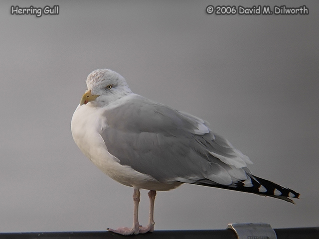 229 Herring Gull
