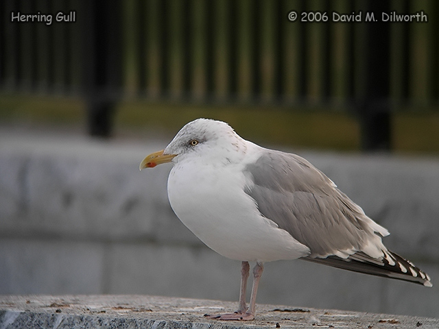 229m2 Herring Gull