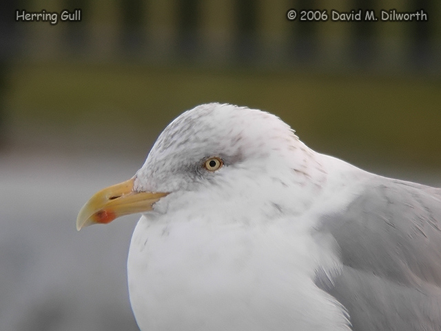 229m3 Herring Gull