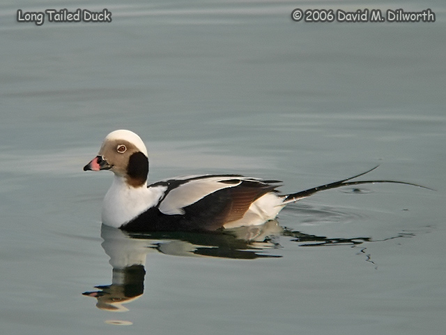 230 Long-tailed Duck