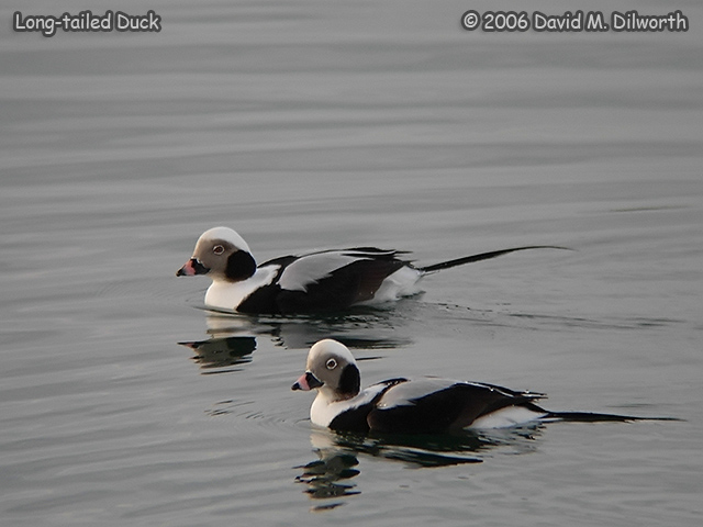 230m Long-tailed Duck
