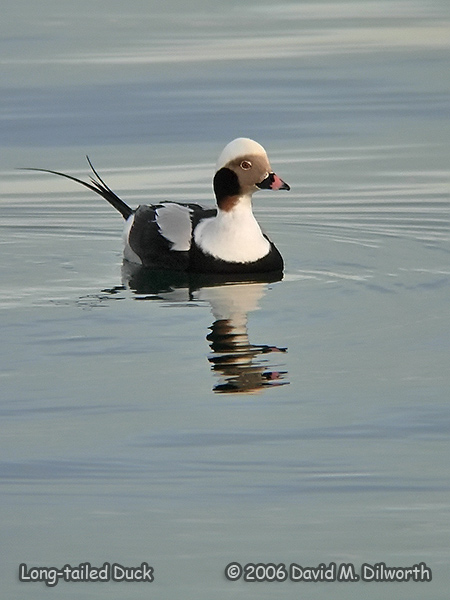 v231m Long-tailed Duck