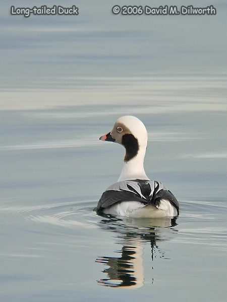 v233 Long-tailed Duck