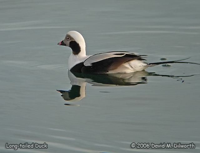 233m4 Long-tailed Duck