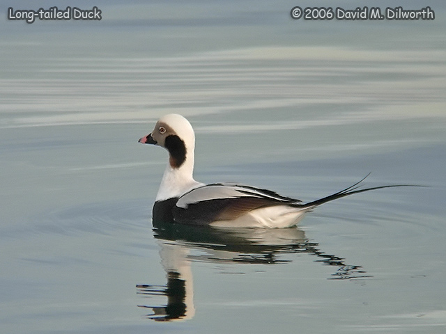234 Long-tailed Duck