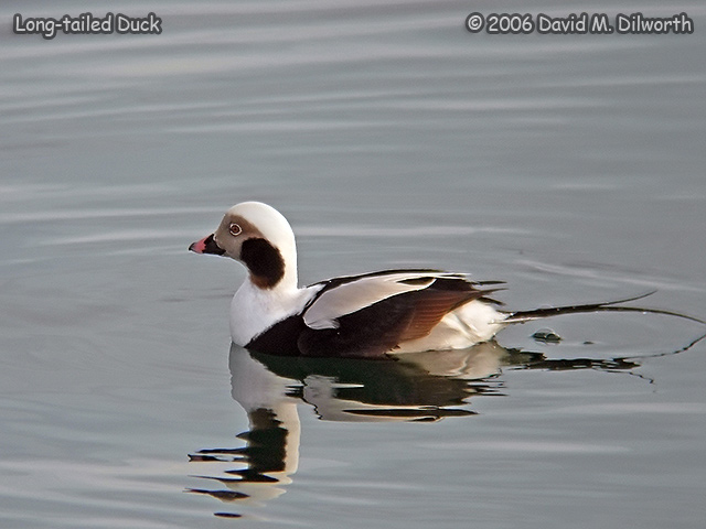 234m2 Long-tailed Duck