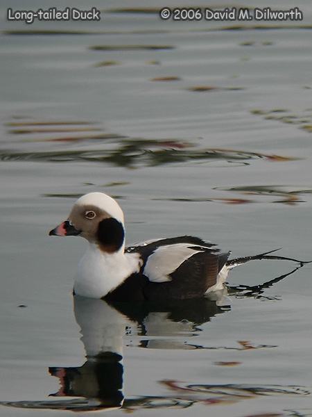 v234m3 Long-tailed Duck