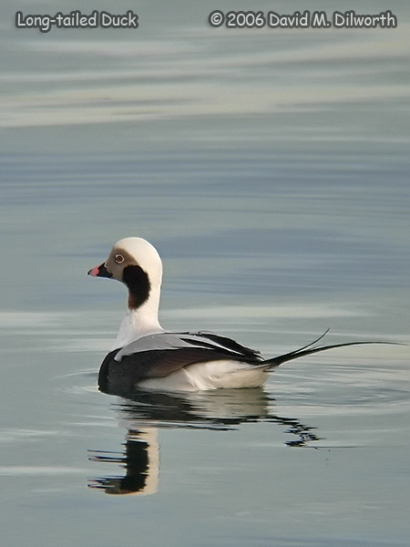 v235 Long-tailed Duck
