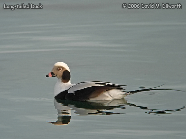 235m1 Long-tailed Duck