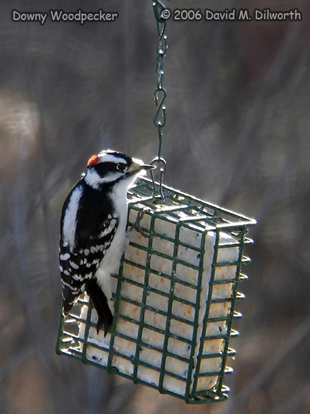 v245m Downy Woodpecker