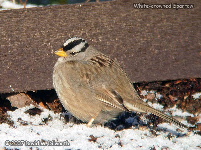 247 White-crowned Sparrow