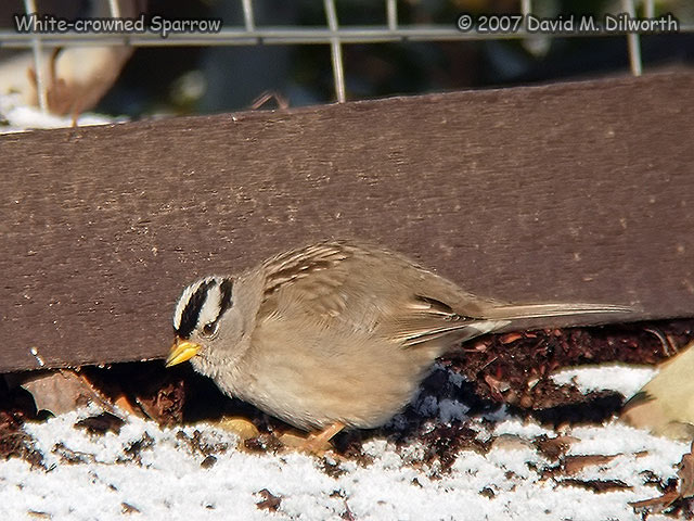 247m White-crowned Sparrow