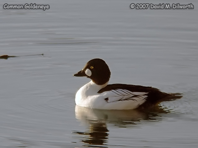 250 Common Goldeneye