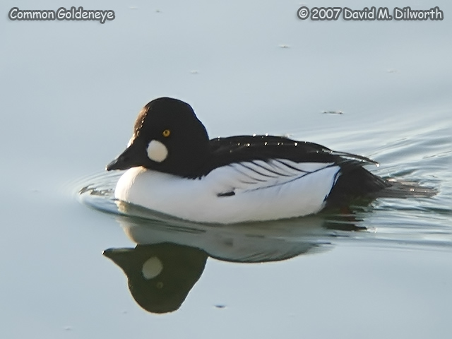 250m12 Common Goldeneye