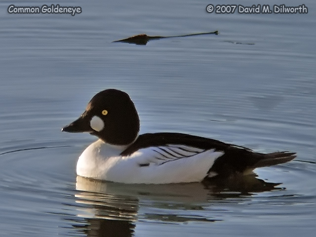 250m16 Common Goldeneye